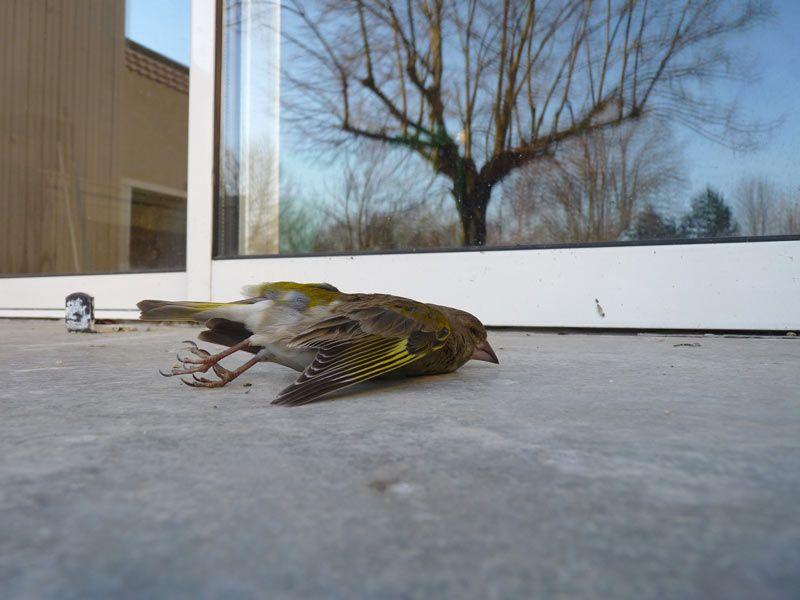 Vitrages et oiseaux ne font souvent pas bon ménage
